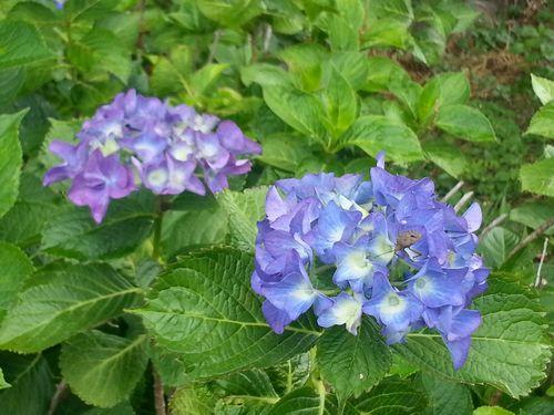 0612紫陽花1.jpg
