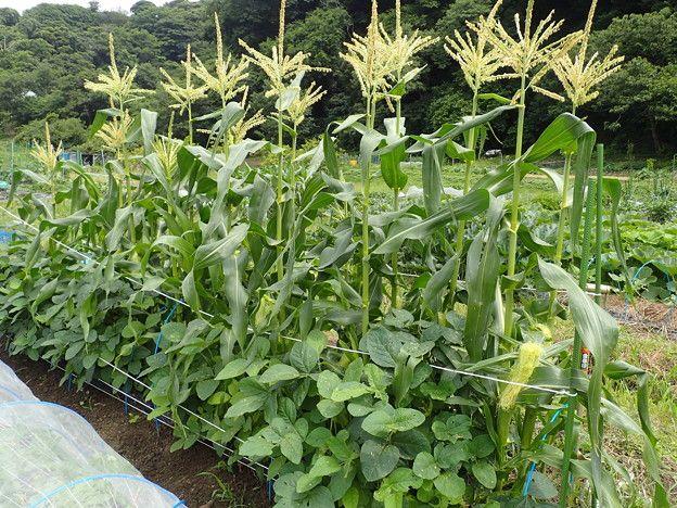トウモロコシ の 栽培 方法