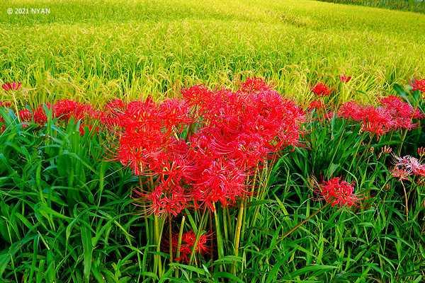 ヒガンバナ(彼岸花、ヒガンバナ科)