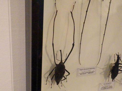 大阪市立自然史博物館2019年7月下旬22 マレーテナガオサゾウムシの標本
