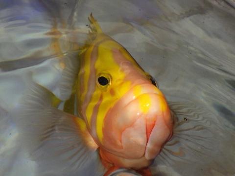 シマハタ(Cephalopholis igarashiensis)61 深海魚飼育 Neptune grouper