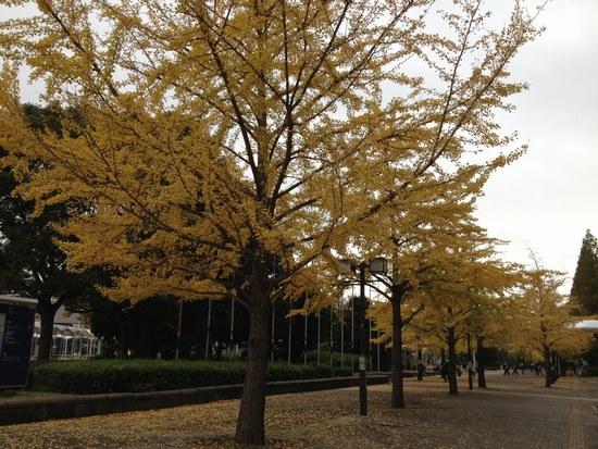 1銀杏の木と5550.jpg