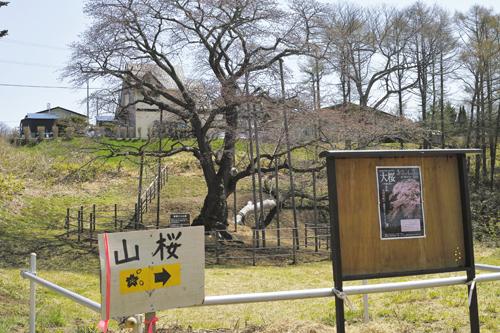 6大桜看板.jpg