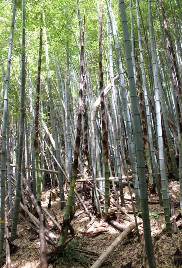 長い竹.jpg