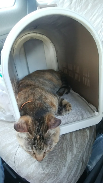 キャリーの中で落ち着く猫