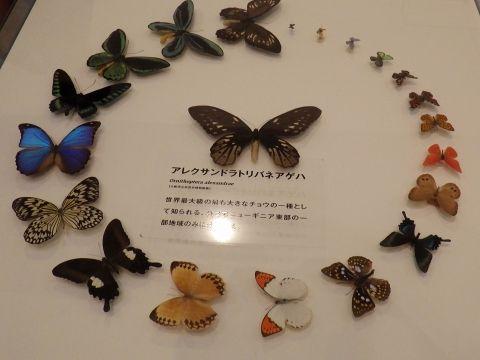 大阪市立自然史博物館2019年7月下旬9 チョウのなかまの標本