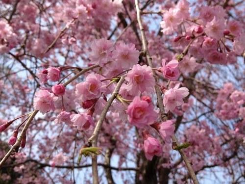 2枝垂れ桜全体0500.jpg