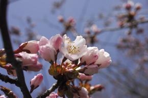 5桜アップ2.jpg