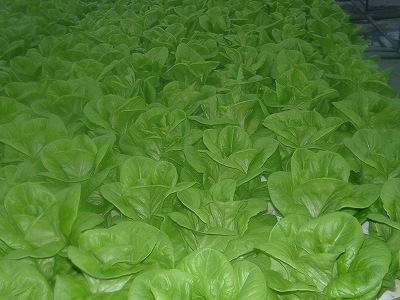 サラダ菜の通年栽培