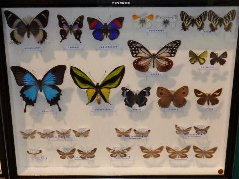 大阪市立自然史博物館2019年7月下旬8 チョウのなかまの標本