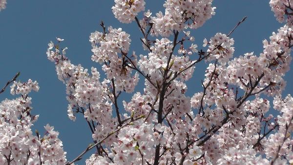 桜 花見 満開
