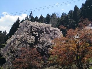慈徳寺のしだれ桜(種まき桜とも)