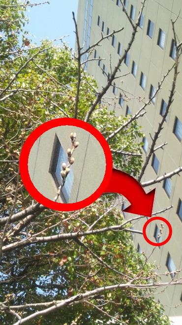 20120322ニュースカイ前の桜