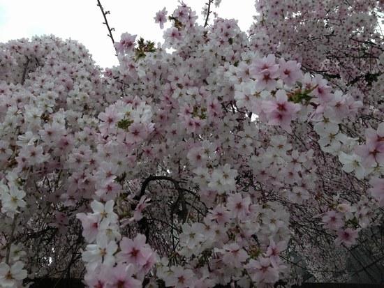 2枝垂桜5501.jpg