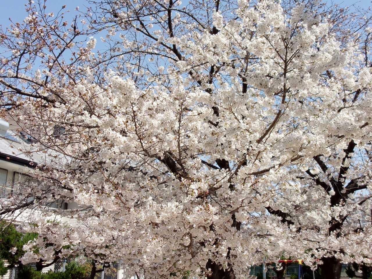 春たけなわの季節になりました!?の巻 | 人さまのネコ - 楽天ブログ