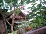 ミニバラとログハウス