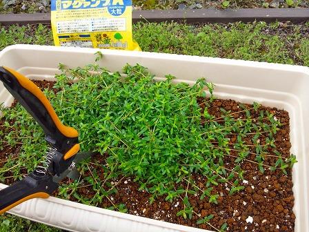 鉢植えのタイムが大きくなったので庭に定植しました3