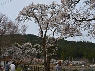 椛の湖桜.JPG