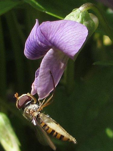 スミレの花にとまるホソヒラタアブ:メス(4月)