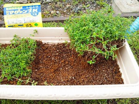 鉢植えのタイムが大きくなったので庭に定植しました4