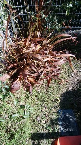 枯れた紫蘭(シラン)の刈り取り