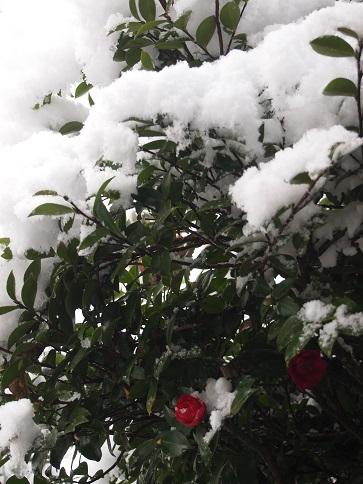 2013年12月  雪と山茶花.jpg
