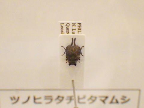 大阪市立自然史博物館2019年7月下旬33 ツノヒラタチビタマムシの標本