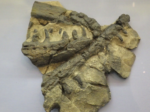 大阪市立自然史博物館2017年4月下旬20 モササウルス類の顎の一部の化石