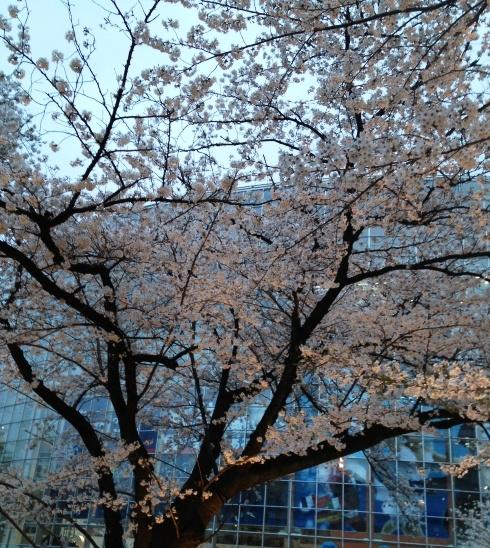 ヒルズ桜.jpg