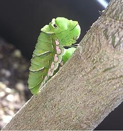 まだまだ幼虫に近い蛹
