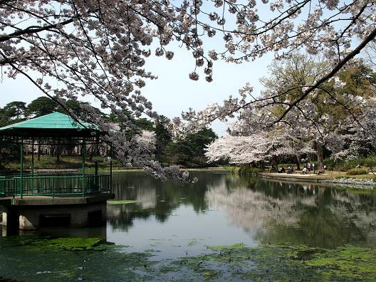 大宮公園舟遊池の桜.JPG