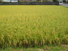 2013収穫前日.jpg