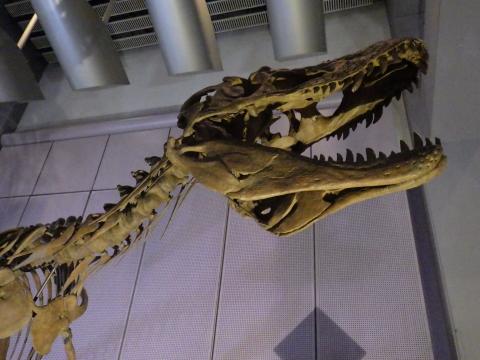 恐竜展2017巨大化の謎にせまる29 ライスロナックスの全身骨格