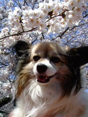 2012桜祭り7.JPG