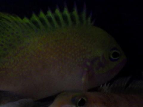 バラハナダイ(Odontanthias katayamai)39 深海魚飼育