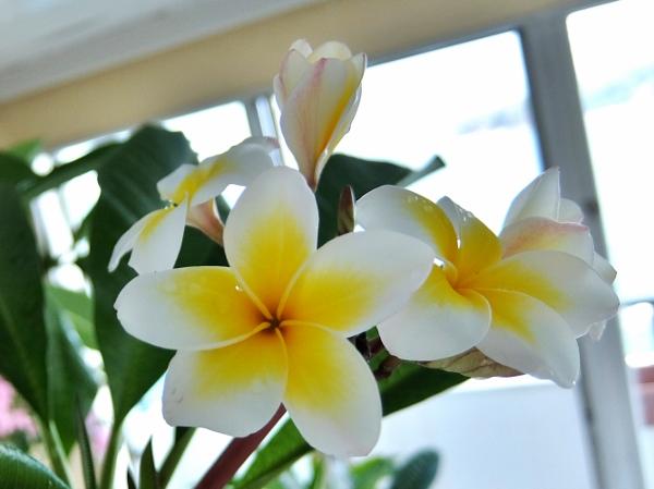 プルメリア ベランダ 育て方 花 レモンサンセット