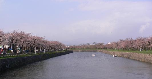 五稜郭公園桜
