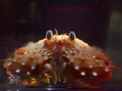 コツノキンセンモドキ(Mursia danigoi)1 深海性カニの飼育