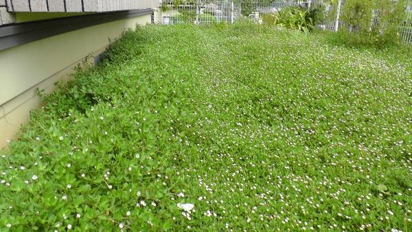 イワダレソウだらけの東側の庭