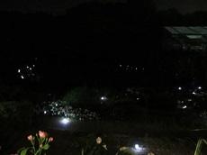night rose 09.jpg