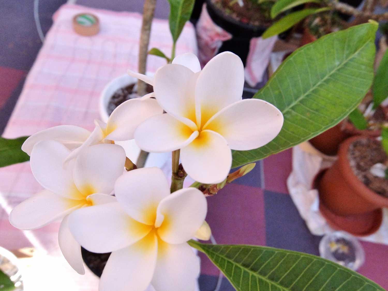 プルメリア 希少 ジャングル レモンサンセット Lemon Plumeria