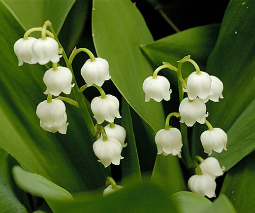 Lily-of-the-Valley-1.jpg