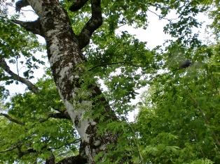 ブナの木1.JPG