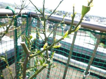 二段の柚子の木