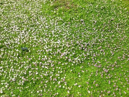 ヒメとクラピアの花対決1
