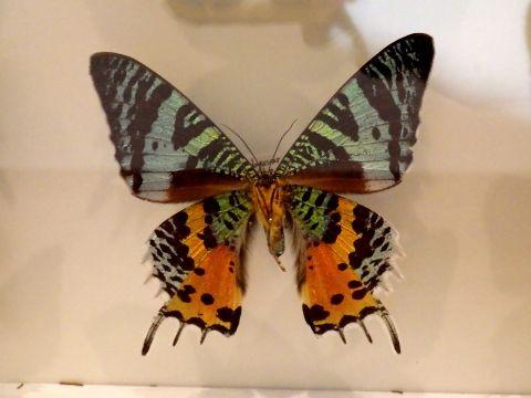 大阪市立自然史博物館2019年7月下旬15 ニシキオオツバメガの標本