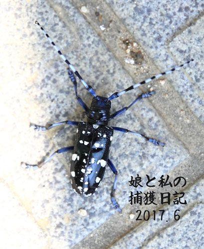 ムシ ゴマダラカミキリ カミキリムシの正しい飼い方と、種類・エサ・幼虫!【画像】