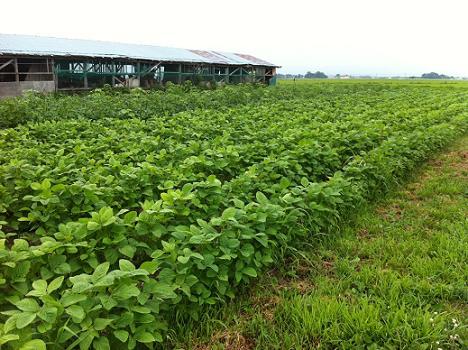 枝豆畑2012