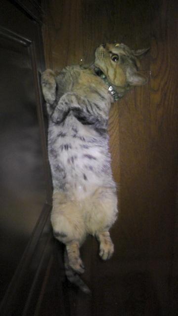 壁際で仰向けに寝る猫