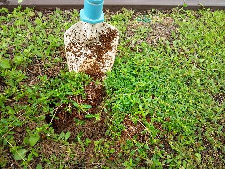 鉢植えのタイムが大きくなったので庭に定植しました5